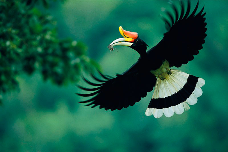 Rhinoceros-Hornbill-Bird