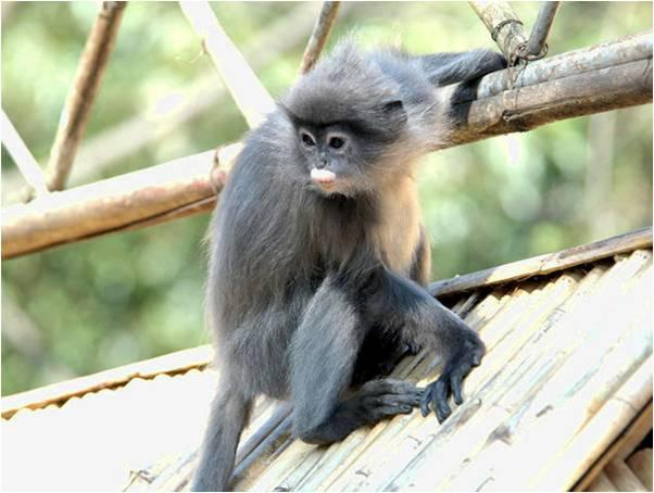 Phayre's Leaf Monkeys